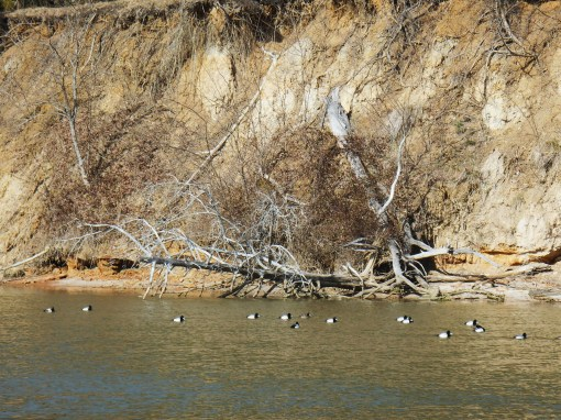 Erosion continues to be a problem along our waterways.  Here, ducks enjoy feeding in the shallows of College Creek near where it empties into teh river.