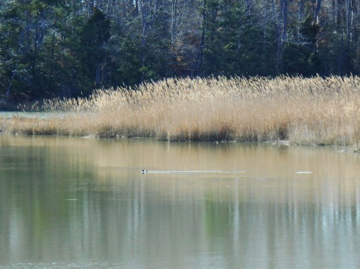 Phragmites fill much of our marshy areas.