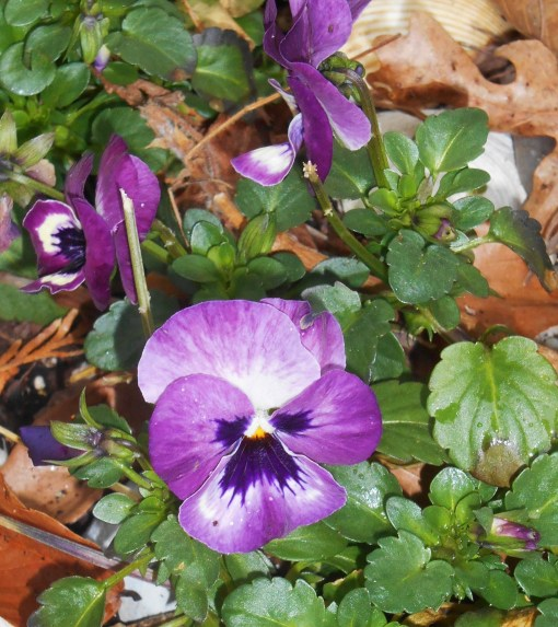 March 14, 2015 spring flowers 004
