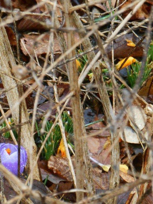 Crocus emerge beneath a woody web of Lantana stems.  We want to wait until the weather settles a bit more before cutting the Lantana back for spring.