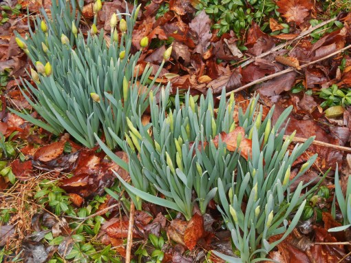 March 14, 2015 spring flowers 011