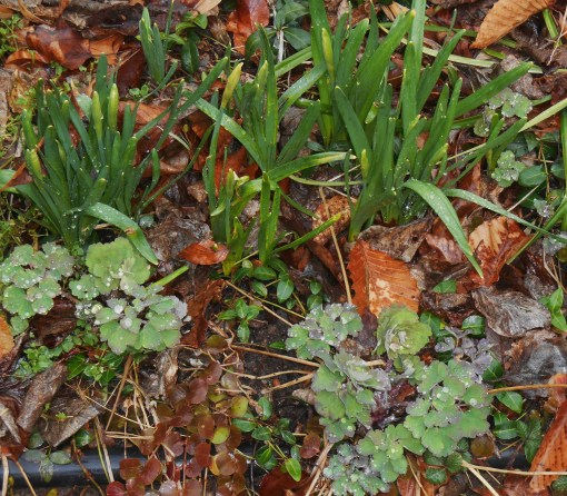 March 14, 2015 spring flowers 012