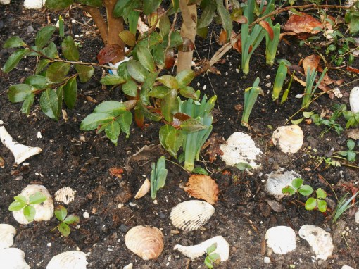 I've transplanted Hellebores seedlings to grow beneath this Camellia shrub.  They will make a lovely ground cover in a few years.