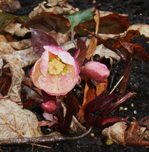 March 14, 2015 spring flowers 019