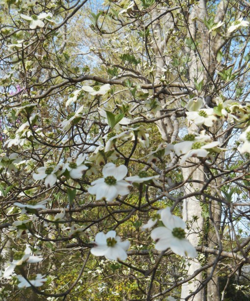 Dogwood on April 12