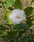 The one and only bud on this little Camellia japonica open on April 12