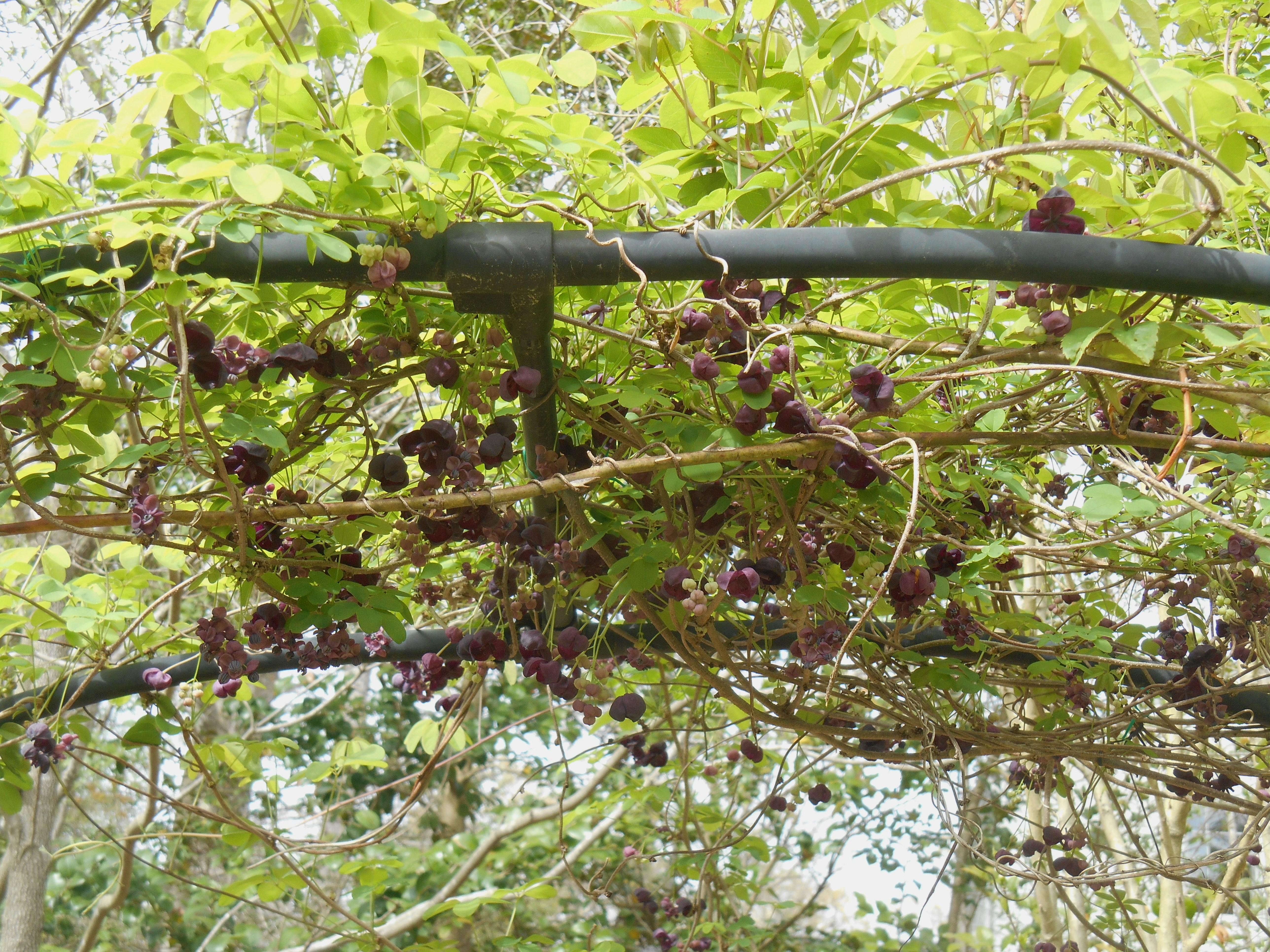 Chocolate Vine   Forest Garden