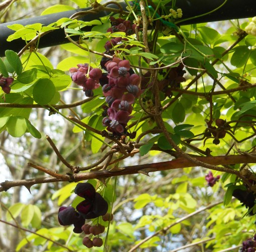 The larger flowers are female, and may eventually form fruits in late September and October.  The smaller flowers contain the pollen.  Some catalogs specify that two vines are needed for fruit production, and we have only one.