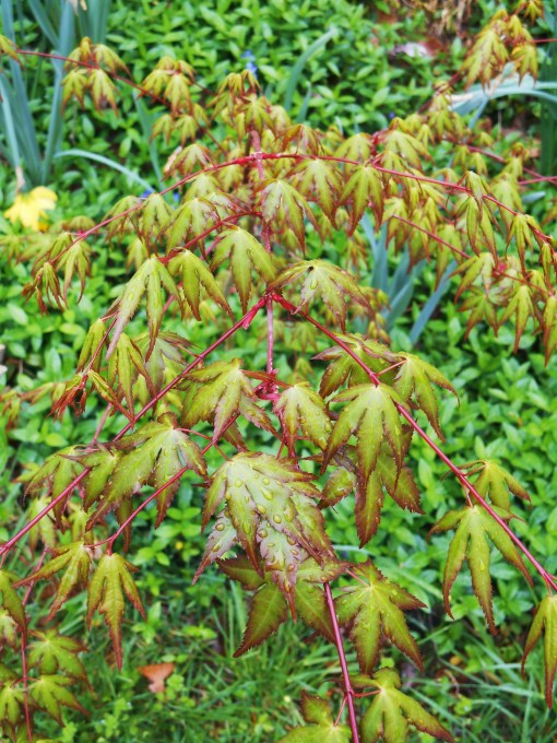 Acer Palmatum 'volunteer' growing in our border. I've been working with this little tree over the past several years, ever since I recognized it as a useful seedling and not a week in 2011.