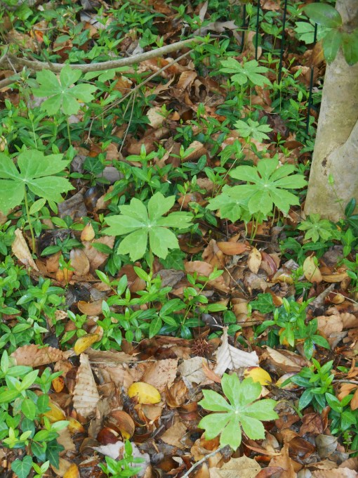 Mayapples appeared through the leaf mulch this week in our garden.