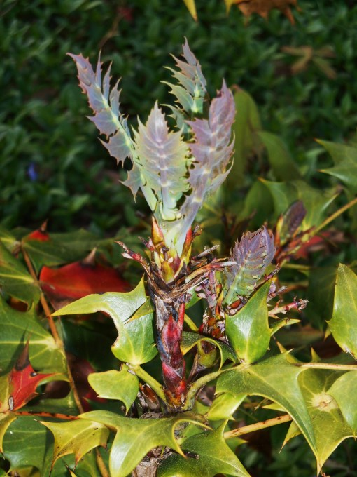 New growth on an Oregon Grape Holly in our front garden.  Notice the scarlet leaves?   Linda explains why these leaves may turn scarlet to survive a particularly cold winter.