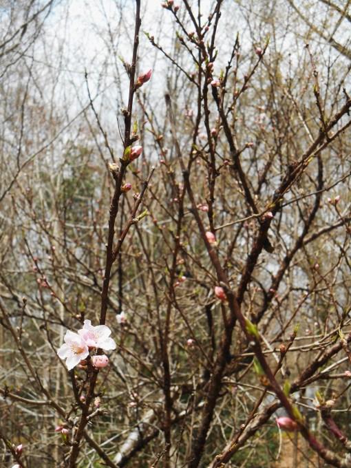 April 3, 2015 flowers 010