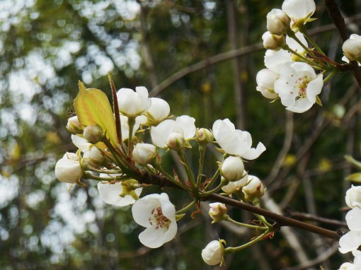 April 3, 2015 flowers 017