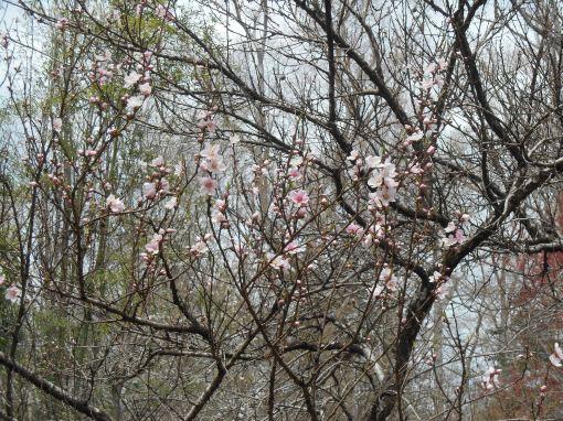 April 3, 2015 flowers 026