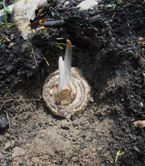 "Plant the tuber 2"" to 3"" in good, moist soil in bright partial shade.  Keep moist.  I've heard these guys stay hungry, and grow better with occasional meals of compost."