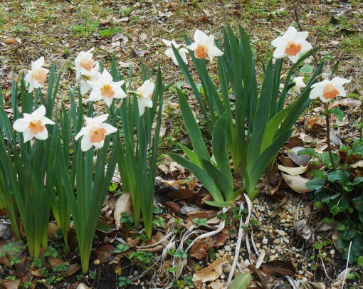 """These N. """"Katie Heath,' growing in our garden, were hybridized by Brent Heath and named for his mother.  These have been growing in our garden for several years."""