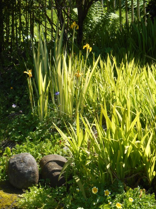 Japanese Iris, which need boggy soil, were very special to Connie Hansen. Many were moved after her passing to create the current off-street parking area.