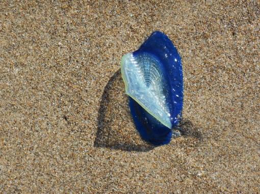 A stranded Velella velella's sail catches sun instead of wind on the Oregon coast.
