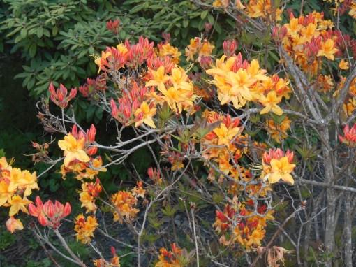 Native Azaleas blooming in the Connie Hansen Garden.