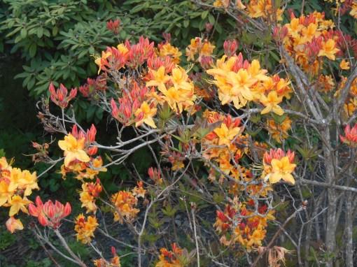 Native Azaleas blooming in the Connie Hansen Garden.
