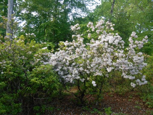 Our ancient grove of native Mountain Laurel