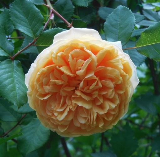 May 10, 2015 Roses 001