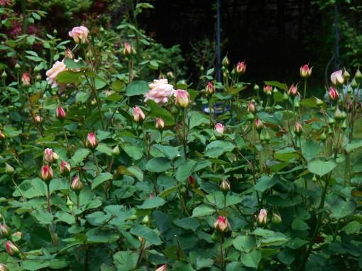 May 10, 2015 Roses 003