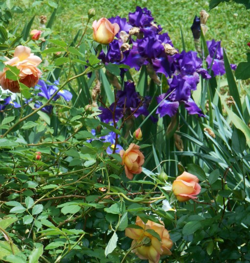 Bearded Iris spread easily when planted in full sun with moist, reasonable soil. They may be allowed to grow into large clumps, or divided and spread around.