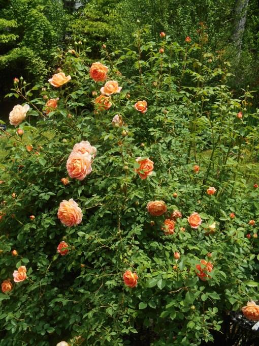 May 10, 2015 Roses 005