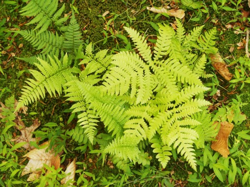 One of the ferns growing in my friends' garden.