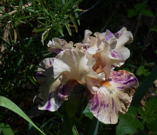 "Re-blooming Iris, ""Rock Star"""