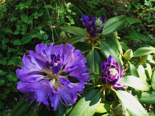 The Rhododendron I brought home in February has finally bloomed!  Some may find these electric purple flowers highly strange.....