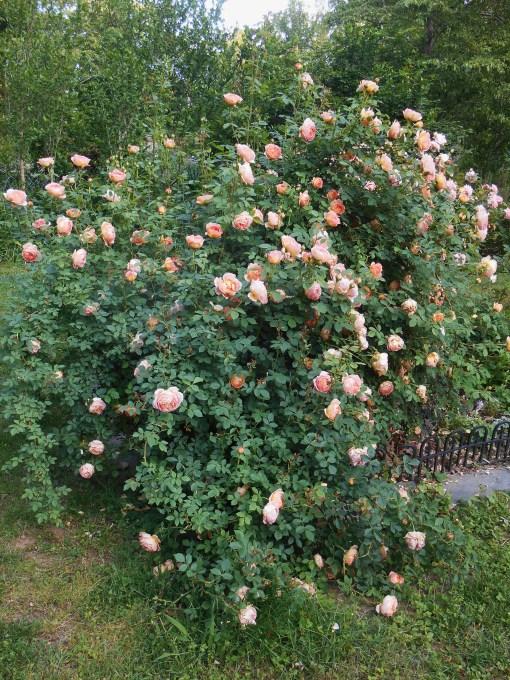 May 15, 2015 roses 006