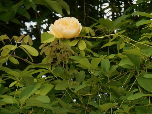 May 15, 2015 roses 009