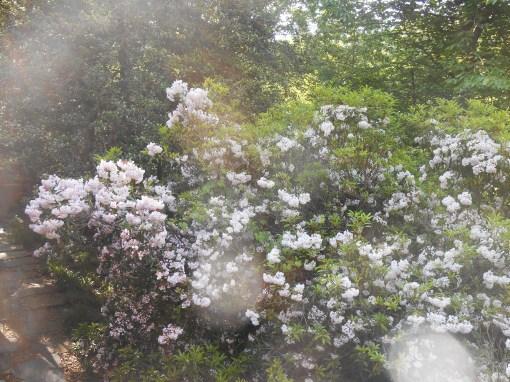 May 15, 2015 roses 024