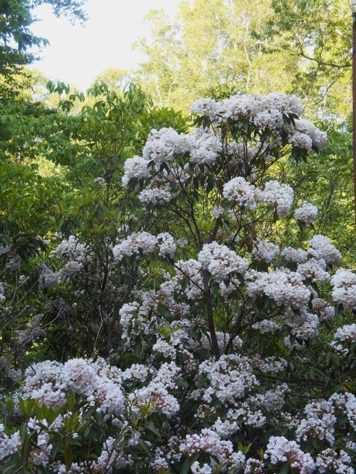 May 15, 2015 roses 042
