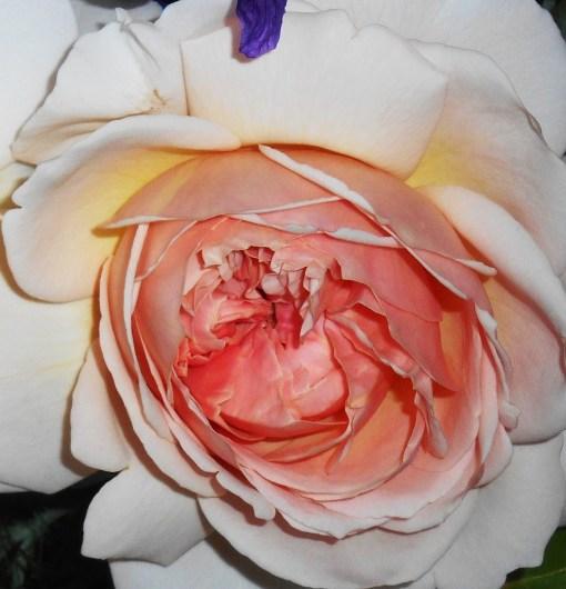 May 15, 2015 roses 057
