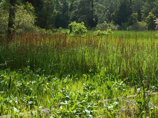 It was hot and muggy on Jamestown Island this afternoon, the steamy air full of hungry Mayflies.  Can you spot the yellow Iris growing in this marsh?