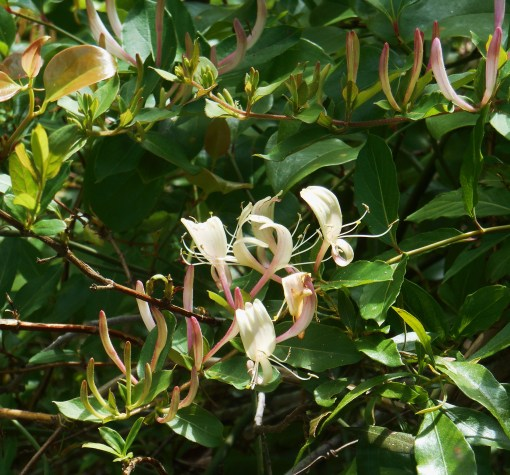 Honeysuckle vines, growing wild on Jamestown Island.