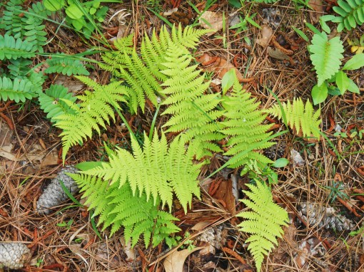 Native ferns just awakening from their winter dormancy.