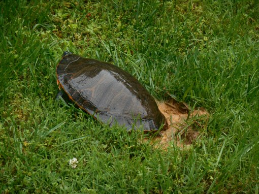 May 21, 2015 turtle 003