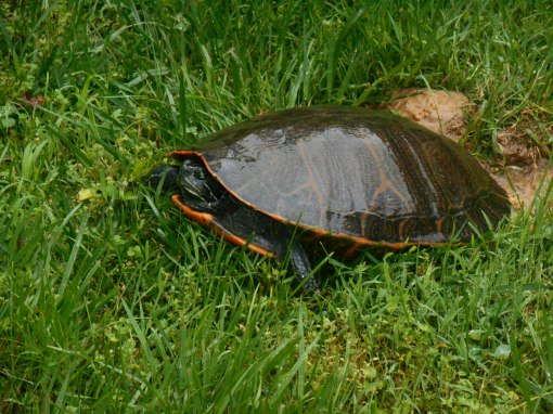 May 21, 2015 turtle 004