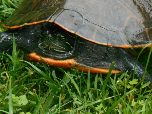 May 21, 2015 turtle 005