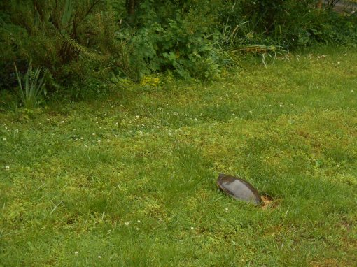 May 21, 2015 turtle 009