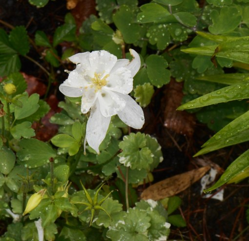 Columbine bathed in yesterday's rain.