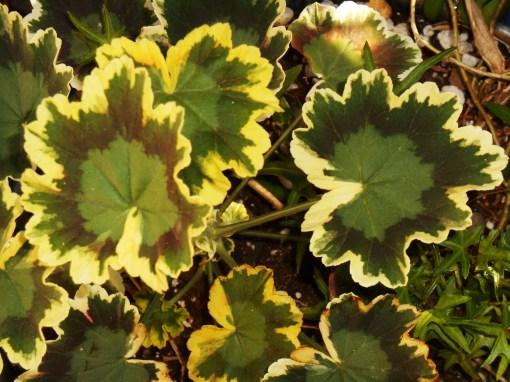 Zonal Pelargonium