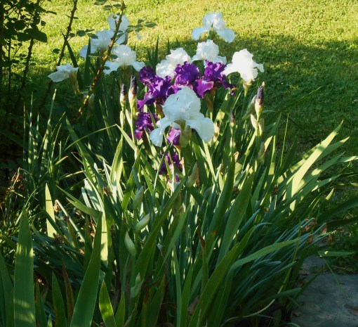 Re-blooming Iris I. 'Rosalie Figge' and I. 'Lunar Whitewash' bloom again each autumn.