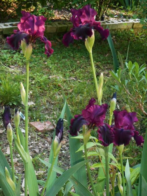 May 4, 2015 garden 025