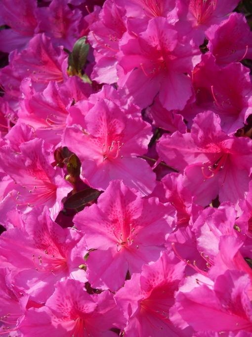 "Indica hybrid Azalea ""Formosa"""