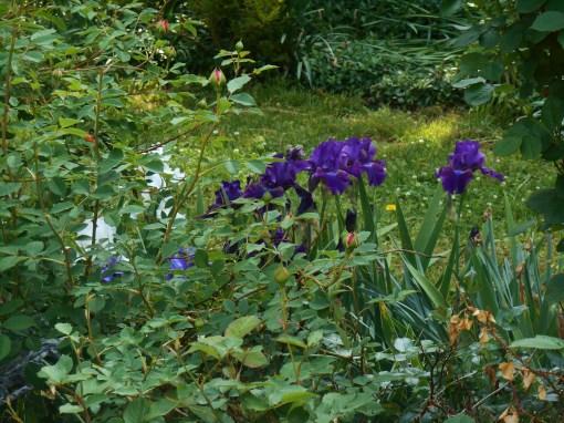 May 7, 2015 garden 021